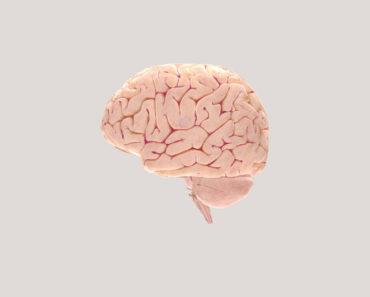İnsan Beyninin Yapısı
